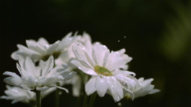 slo mo, cu, selective focus, studio shot of water drop falling on white daisy - 高精細点の映像素材/bロール