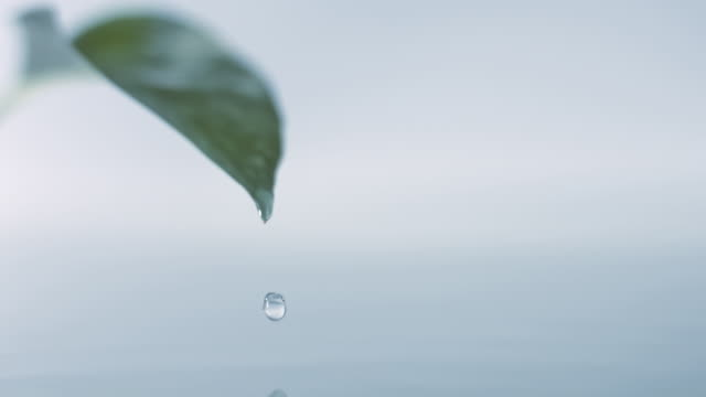 SLO MO, CU, SELECTIVE FOCUS, Studio shot of water droplet falling off leaf
