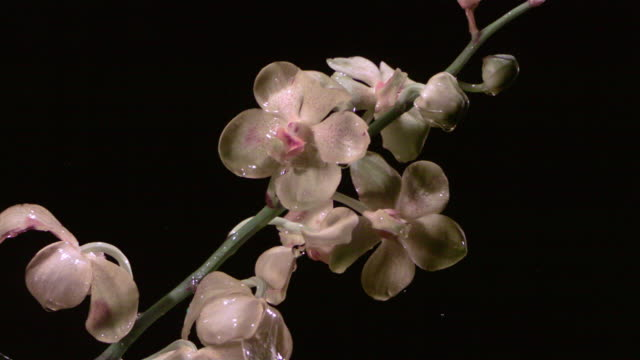 SLO MO, CU, Studio shot of water drops falling on pink orchid