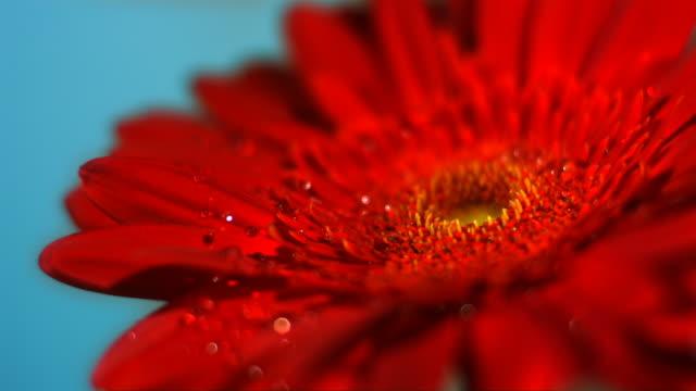SLO MO CU SELECTIVE FOCUS Studio shot of water falling on red gerbera flower