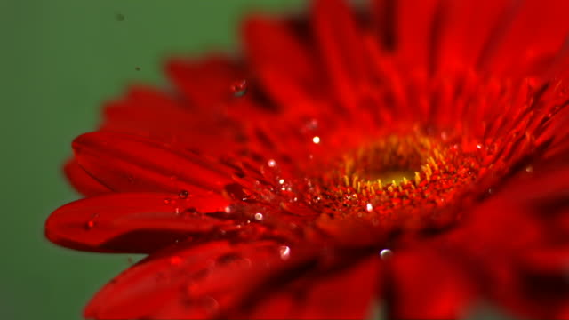 slo mo cu selective focus studio shot of water falling on red gerbera flower - 一輪の花点の映像素材/bロール