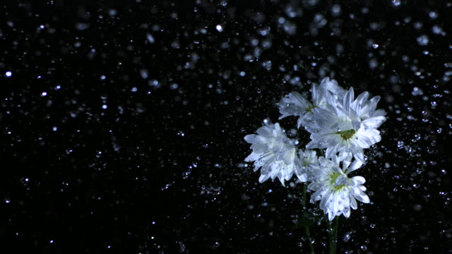 vidéos et rushes de slo mo cu studio shot of water falling on white daisies against black background - marguerite