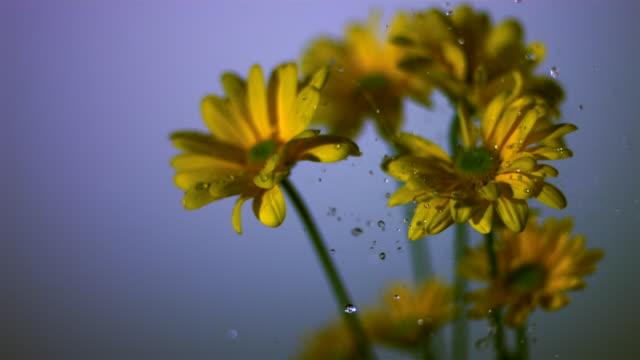 SLO MO CU SELECTIVE FOCUS Studio shot of water falling on yellow daisies