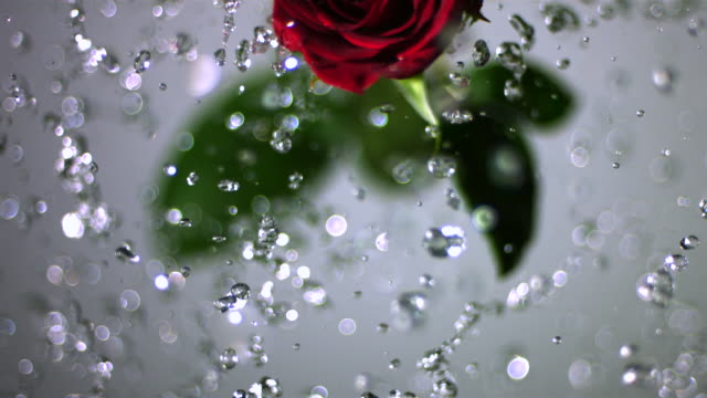 slo mo cu selective focus studio shot of water splashing on red rose - single flower stock videos & royalty-free footage