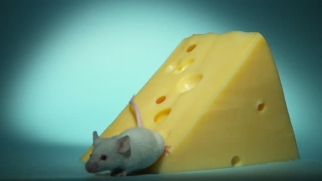 ms, studio shot of white mouse at large peace of swiss cheese - チーズ点の映像素材/bロール