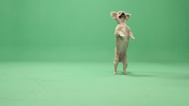 studio, slow motion, green screen, a cute lap dog rears up, london, uk - lap dog stock videos & royalty-free footage