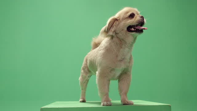 studio, slow motion, green screen, a cute lap dog wags his tail on a podium, london, uk - lap dog stock videos & royalty-free footage