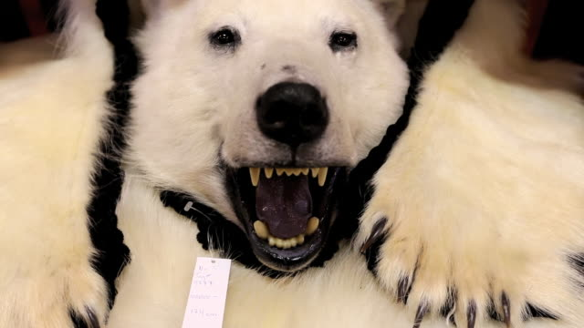 a stuffed polar bear in a shop in longyearbyen on spitsbergen, svalbard. climate change poses a huge threat to polar bears. as the sea ice retreats, they lose ground and time to hunt their main prey, seals, which they can only hunt on sea ice. latest resea - stuffed stock videos & royalty-free footage