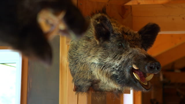stuffed wild boar in log cabin - stuffed stock videos & royalty-free footage