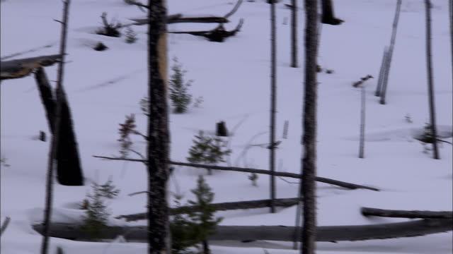 stumps and broken trees cover a snowy hillside. - paletto da cricket video stock e b–roll