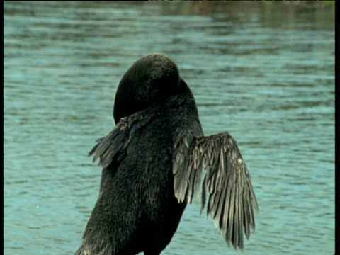 stumpy winged flightless cormorant - south america stock videos & royalty-free footage