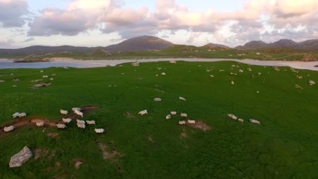 stunning aerial shot on the isle of harris, scotland near the coast flying over a flock of sheep - hebriderna bildbanksvideor och videomaterial från bakom kulisserna