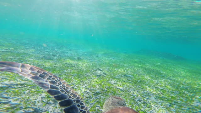 stunning footage of a nice turtle swimming underwater in the paradise gili islands with clear waters recorded during travel vacations in indonesia. - tracking shot stock videos & royalty-free footage
