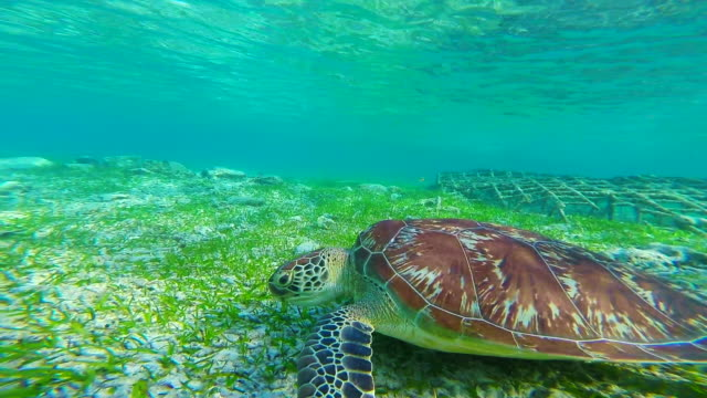 stunning footage of a nice turtle swimming underwater in the paradise gili islands with clear waters recorded during travel vacations in indonesia. - bali stock videos & royalty-free footage