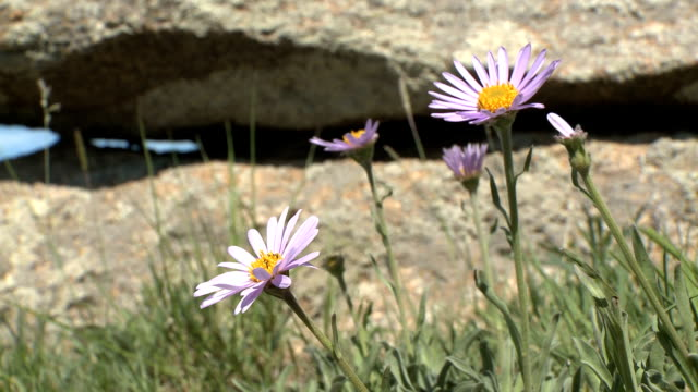 stunning wild purple daisies next to rocky outcrop - igneous stock videos & royalty-free footage