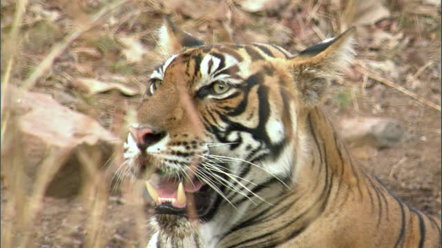 vidéos et rushes de a sub adult female tiger looking around to ensure her safety - medium shot - medium group of animals
