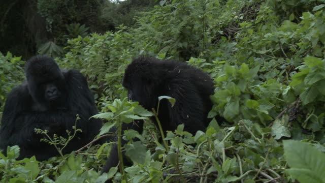 sub adult gorilla playing - gorilla stock-videos und b-roll-filmmaterial