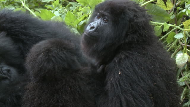 sub adult gorilla scratching - animal family stock videos & royalty-free footage