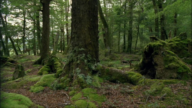 ms, ds, sub alpine beech forest, fiordland national park, south island, new zealand - beech tree stock videos and b-roll footage