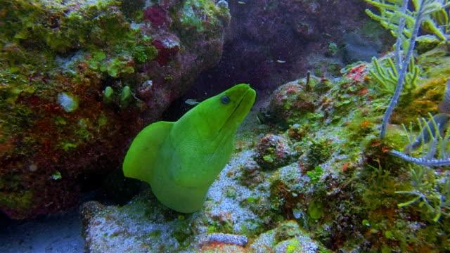 Suba duiken met groene murene (Gymnothorax funebris) in Caribische zee - Belize Barrier Reef / Ambergris Caye