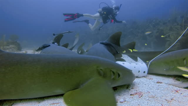 suba diving with nurse sharks feeding in caribbean sea - belize barrier reef / ambergris caye - caribbean reef shark stock videos and b-roll footage