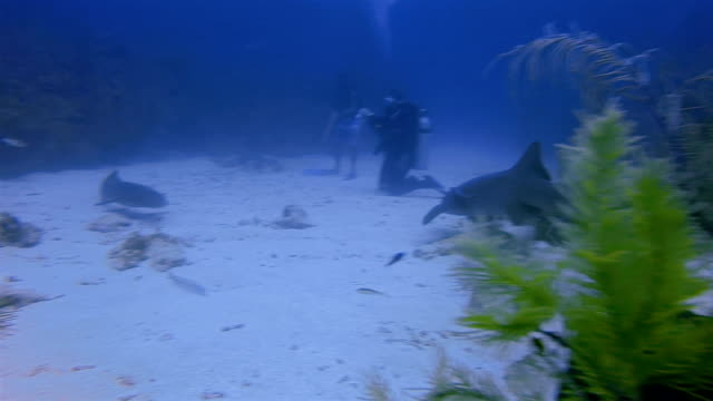 suba diving with nurse sharks in caribbean sea - belize barrier reef / ambergris caye - caribbean reef shark stock videos and b-roll footage