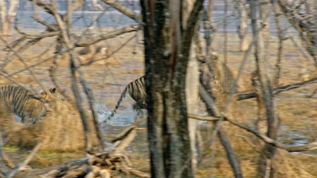 vídeos y material grabado en eventos de stock de sub-adult cub chasing its mother at wetland - small group of animals