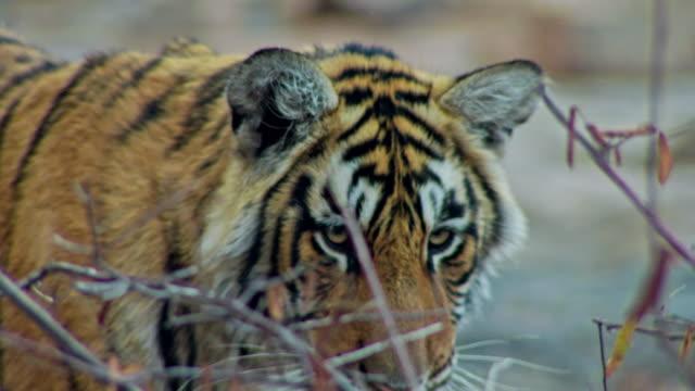 sub-adult tiger arrow head - 肉食哺乳動物の子点の映像素材/bロール