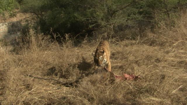 sub-adult tiger dragging kill - dead animal stock videos & royalty-free footage