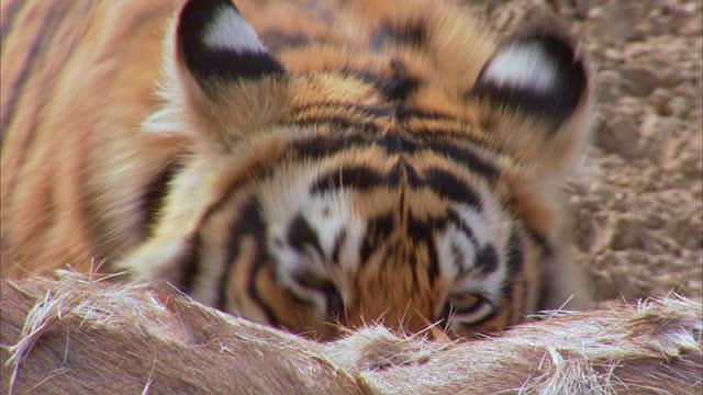 vidéos et rushes de sub-adult tiger eating carcass - closeup shot - claw