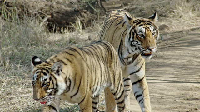 stockvideo's en b-roll-footage met sub-adult tiger getting attention from mother - vier dieren