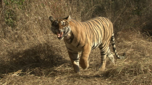 sub-adult tiger growling at the camera - aggression stock videos & royalty-free footage