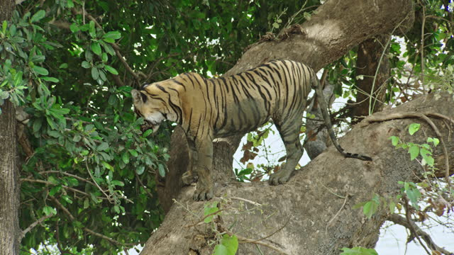 a sub-adult tiger looking down from the tree - medium shot - 肉食哺乳動物の子点の映像素材/bロール