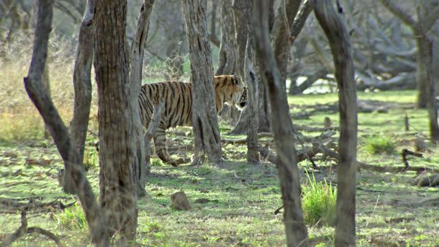 sub-adult tiger marking on tree - animal colour stock videos & royalty-free footage