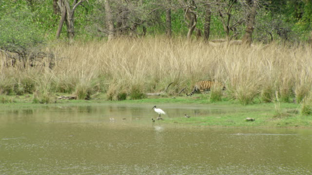 sub-adult tiger moving behind the tall grass - wide shot - grass area stock videos & royalty-free footage