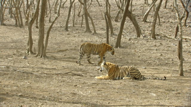 sub-adult tiger siblings fighting-wide shot - fighting stock videos & royalty-free footage