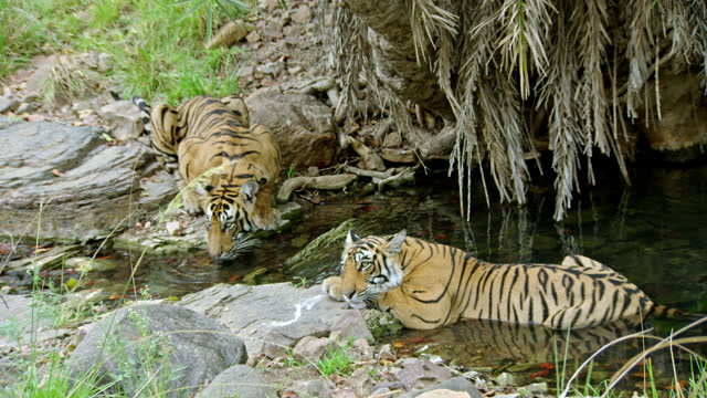 sub-adult tiger siblings sharing a waterhole - full shot - lap body area stock videos & royalty-free footage