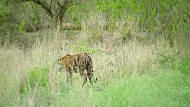 sub-adult tiger urinating - animal markings stock videos & royalty-free footage