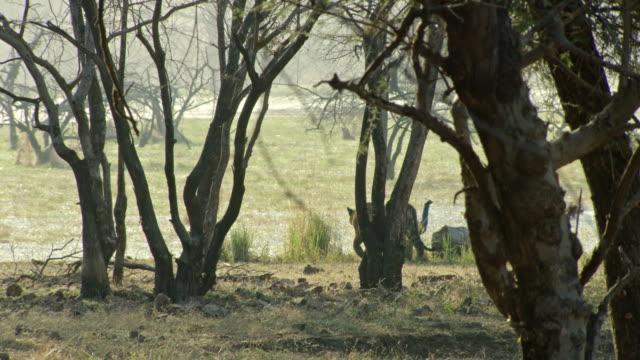 sub-adult tiger walking in edge of lake water - wildlife stock videos & royalty-free footage