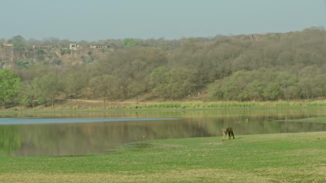 sub-adult tiger walks in water edge - riva del lago video stock e b–roll