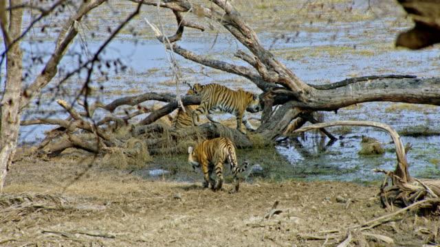 sub-adult tigers at wetland - kleine gruppe von tieren stock-videos und b-roll-filmmaterial
