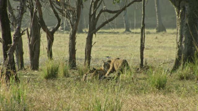 sub-adult tigers playing near water's edge - kleine gruppe von tieren stock-videos und b-roll-filmmaterial