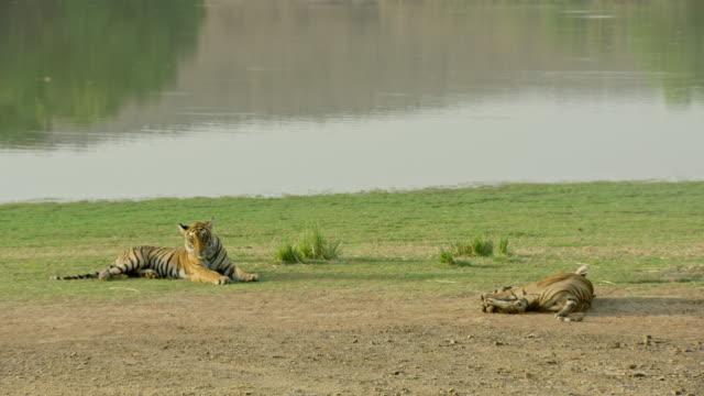 sub-adult tigers resting near water - 横向きに寝る点の映像素材/bロール