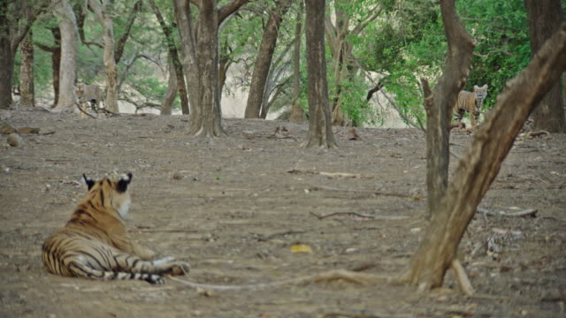 sub-adult tigers roaming in the woodland area - wide shot - small group of animals stock videos & royalty-free footage