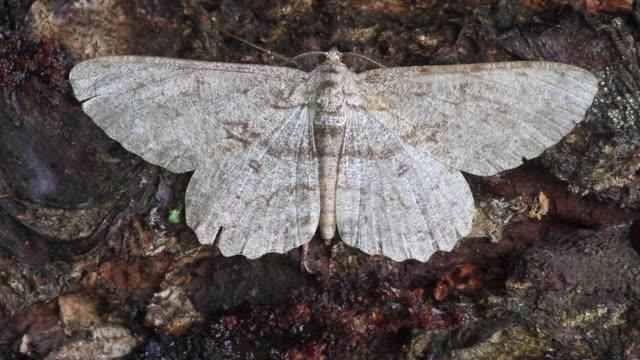 sub-angled wave moth (scopula nigropunctata) - gliedmaßen körperteile stock-videos und b-roll-filmmaterial