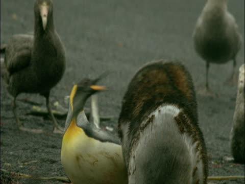 vídeos y material grabado en eventos de stock de subantarctic fur seal (arctocephalus tropicalis) attacks king penguin (aptenodytes patagonicus), marion island, south africa - pingüino cara blanca