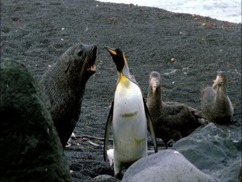 vídeos y material grabado en eventos de stock de subantarctic fur seal (arctocephalus tropicalis) attacks king penguin (aptenodytes patagonicus), marion island, south africa - foca peluda