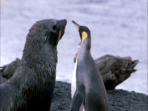 subantarctic fur seal (arctocephalus tropicalis) attacks king penguin (aptenodytes patagonicus), marion island, south africa - medium group of animals stock videos & royalty-free footage