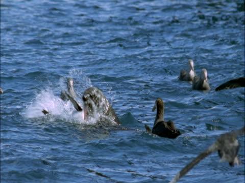 vidéos et rushes de subantarctic fur seal (arctocephalus tropicalis) feeds on king penguin (aptenodytes patagonicus), marion island, south africa - groupe moyen d'animaux
