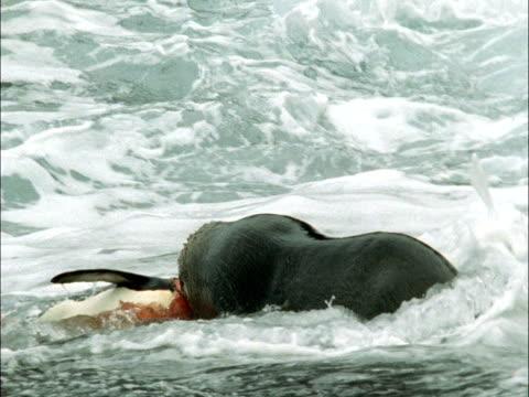 vídeos y material grabado en eventos de stock de subantarctic fur seal (arctocephalus tropicalis) kills king penguin (aptenodytes patagonicus), marion island, south africa - foca peluda